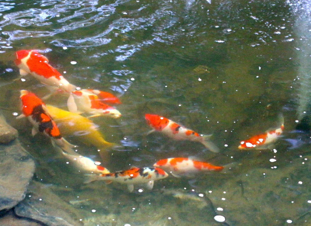 Winter pond everyone should have a koi pond for Koi pond in winter