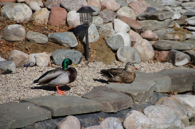 hoping the upper pond will be their new home...this will not happen