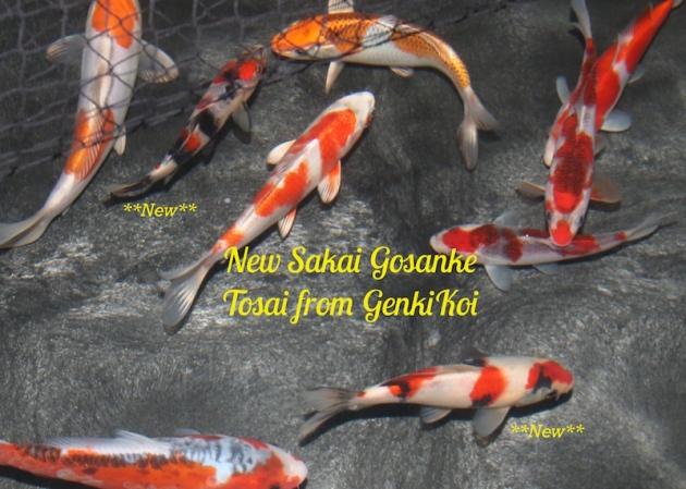 new Sakai gosanke tosai