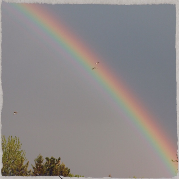 Ducks flying into the rainbow after the thunderstorms