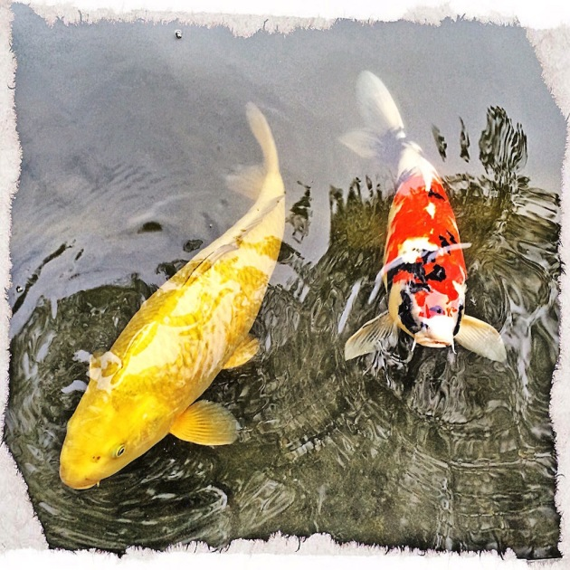 These two koi are always hungry and looking for a hand out.