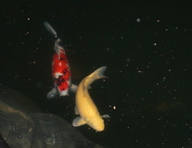 Farm Boy and T2 are enjoying the larger upper pond. One dozen koi are finally outside :-)