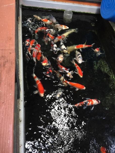 One of the many koi tanks and Genki Nishikigoi. All types of koi sold but the better koi are in the back tanks.