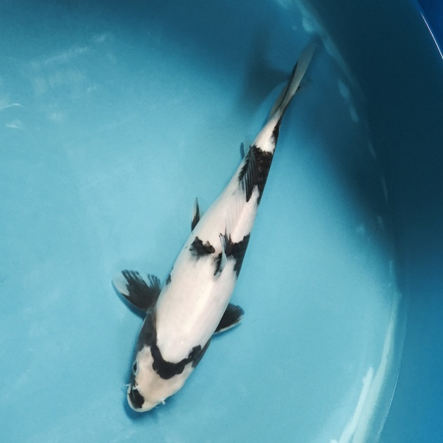 This shiro utsuri will be shipped to me in a few weeks. She is just coming out of quarantine and Kevin would like to ensure that she is healthy and stronger. The koi are placed in quarantine for a month after they are shipped from Japan and the medications used can make them a little fragile.