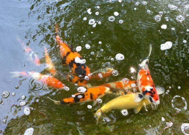 Some of the koi in the upper pond. As the nitrite level goes down, they seem to be peppier.