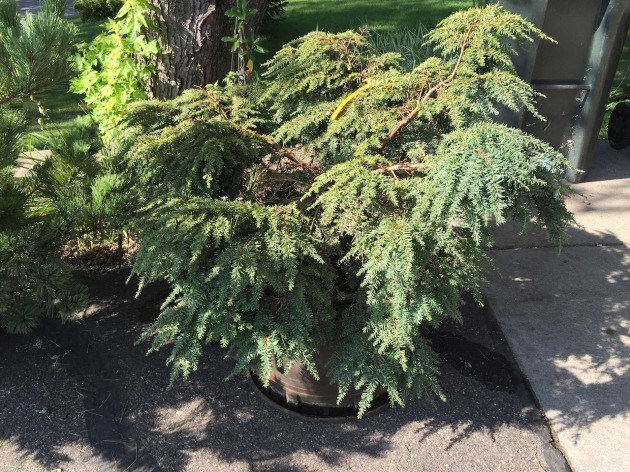 Gracilis Canada Hemlock  grows to 4'-5' wide, 2'-3' high; flat topped evergreen with broad droopy branches