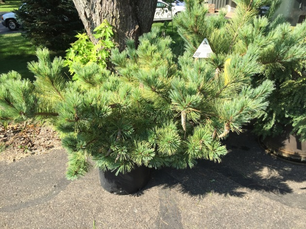 Strob Macopin Pine grows to 7' wide and 10' high, bluish green with soft needles
