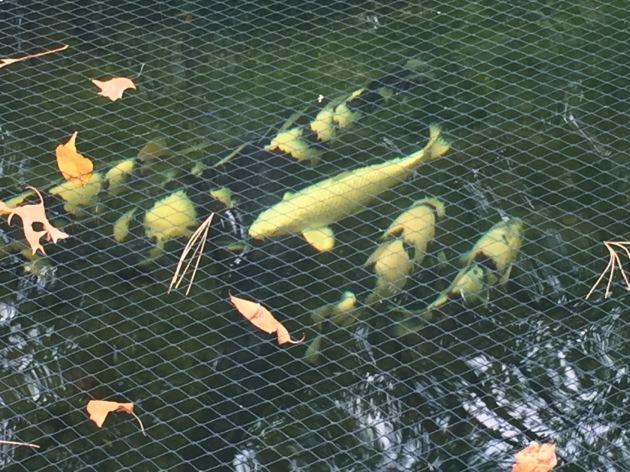 The shiro utsuri pond....