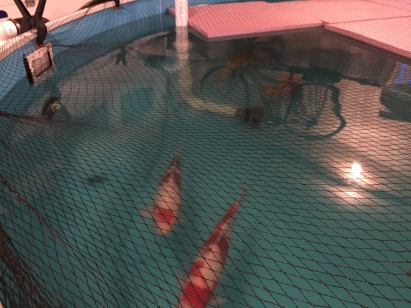 pulls water from the pool and into the bead filter...The koi also like to play at the entrance of the skimmer. We had to put a little rack in front of it to keep them from sticking their heads into the skimmer.