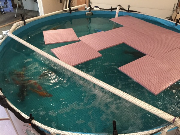 The winter pool has some insulation pieces floating on it to keep the water a littler warmer, to give the koi something to swim under and it keeps the water evaporation down (and the smell).