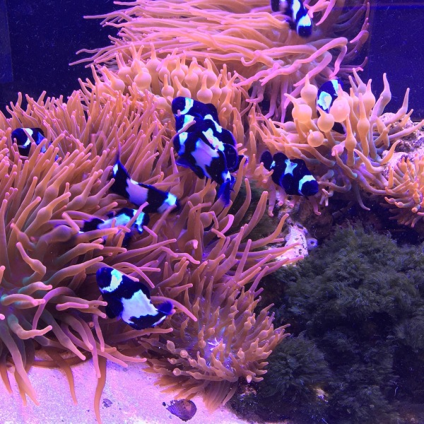 Bulk Reef Supply - front reception aquarium filled with black/white clownfish.
