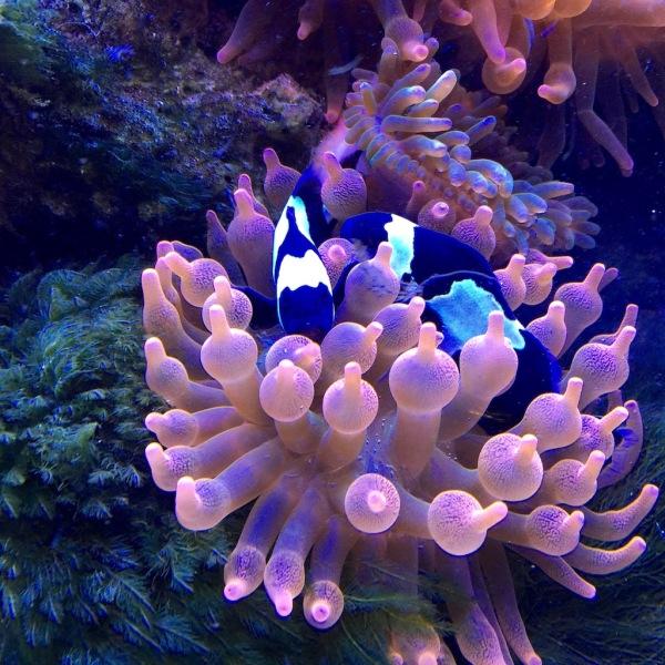 the clownfish remind me of my shiro utsuris...