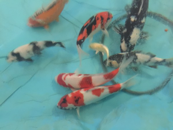 62 degrees in the garage pool and the koi are getting hungrier.