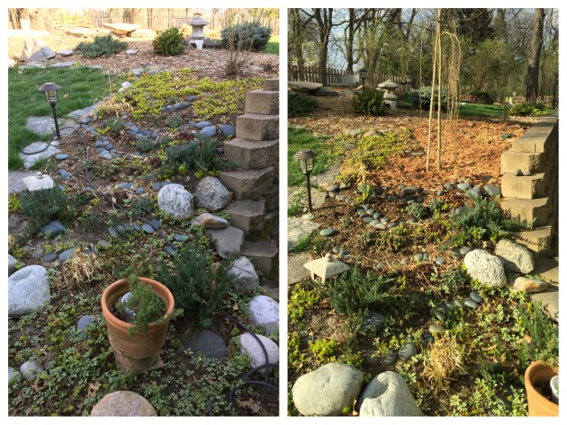 First task was to move a pea shrub tree to a new spot on the hill side. I wanted to get rid of some of the creeping jenny, because it really takes over.