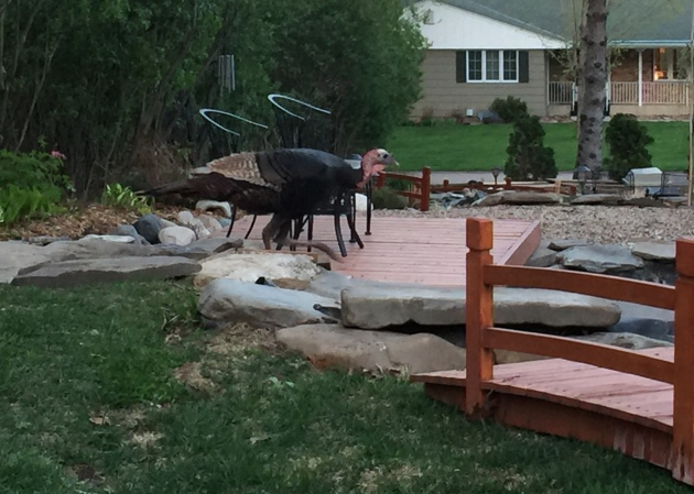 The wild turkey is inspecting our work...