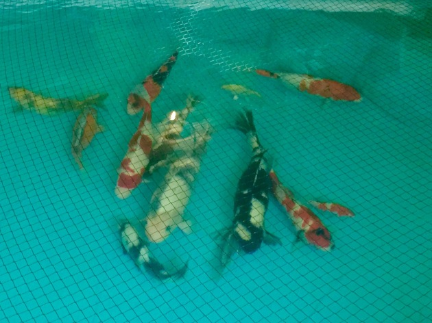 The winter pool koi are just swimming around and looking like they need to get into a real pond soon.