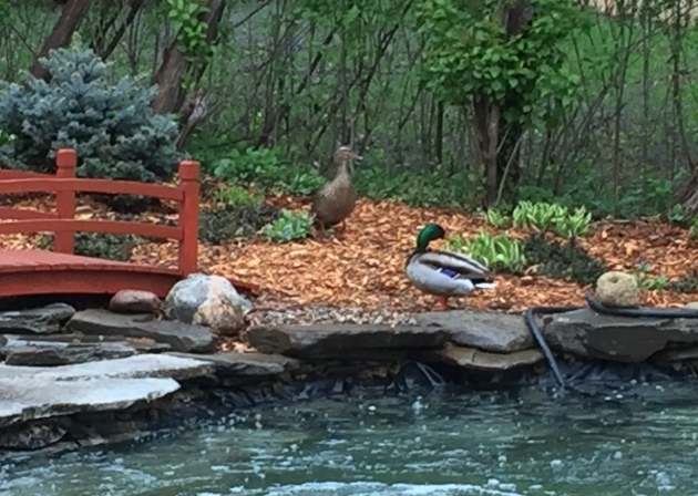 A pair of wild ducks visit our lower pond every spring hoping to make it their love nest. We discouraged this pair with a few salt pellets and a slingshot.