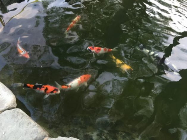 The colorful koi have returned to the upper pond.