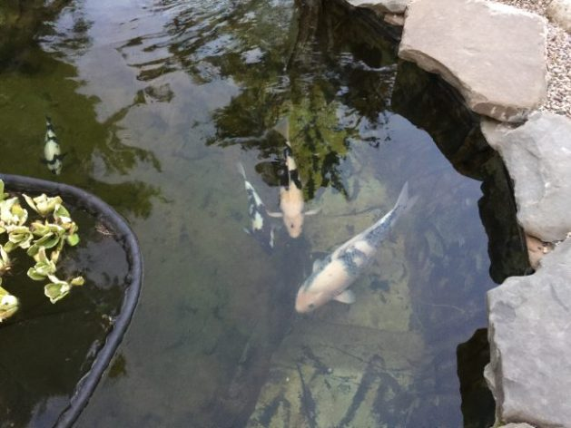 The Shiro Utsuris are enjoying their pond...and they are always very hungry.