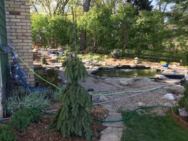 New weeping white spruce trees around the lower pond