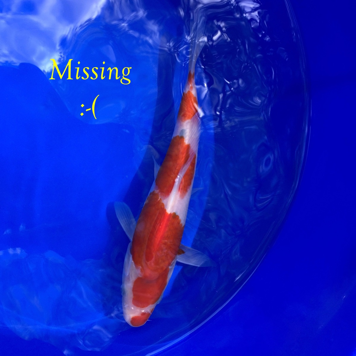 Another missing koi everyone should have a koi pond for Koi pond jets