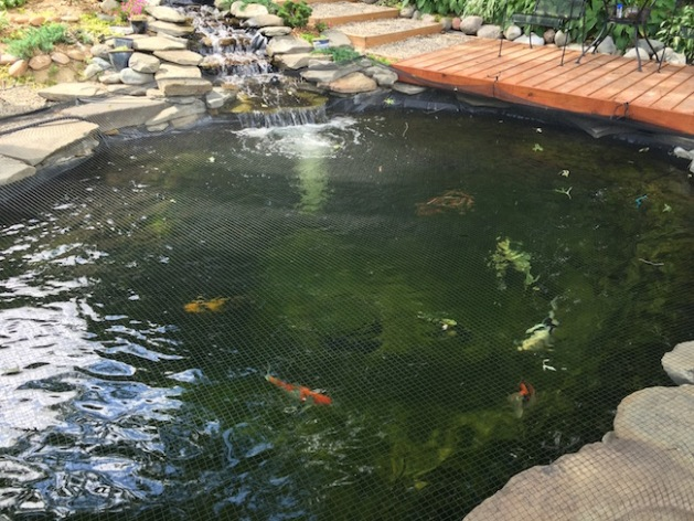 The upper pond koi will be getting three more koi in over the next two weeks.
