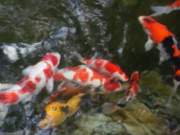 Dale is in the center of the photo. Looks like a Kohaku with some beni on his nose. Dale is actually a sanke and had some sumi sitting under the skin.