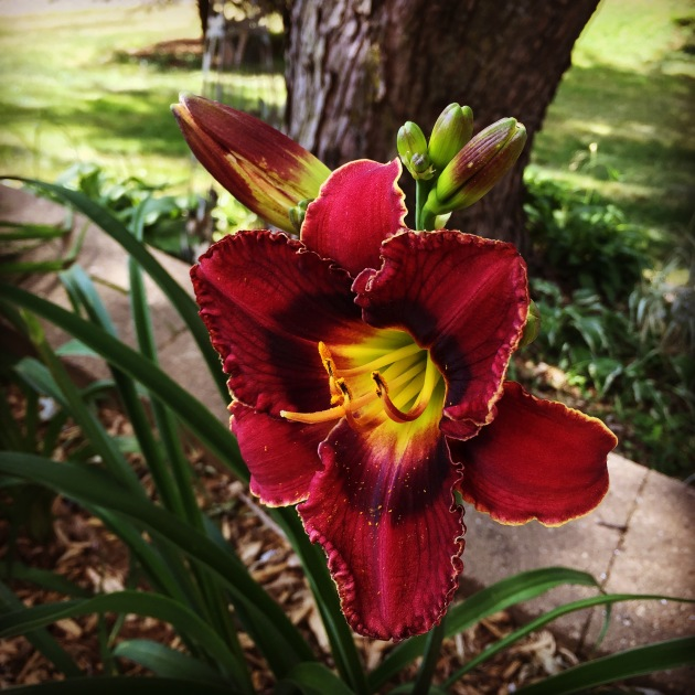 New day lily is blooming.