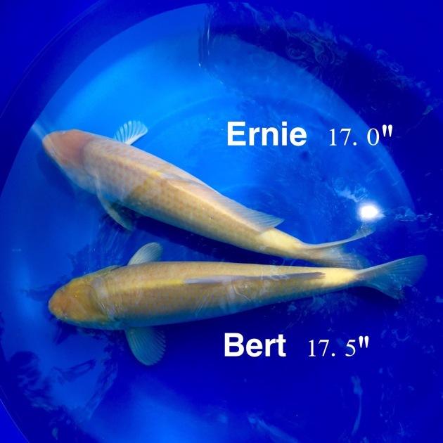 Bert and Ernie, Konishi karashigoi (sourced through Kevin Pham, Genki Nishikigoi)