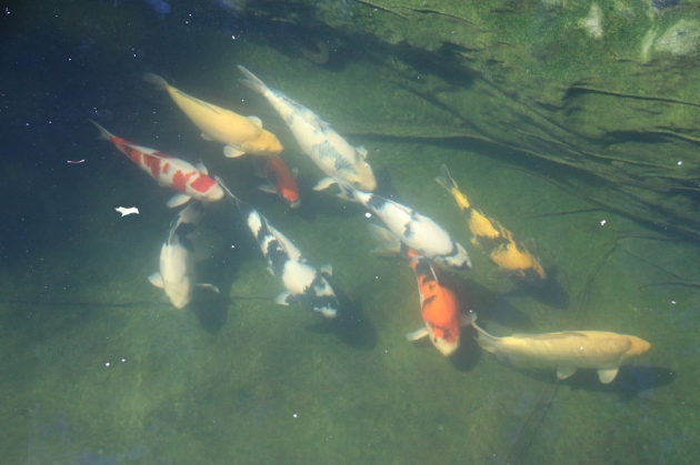 "So the upper pond koi, mostly 20""+ seem to be doing well. They don't like to come up to the surface to eat, preferring the sinking food. Not really a friendly lot but maybe next year we can retrain them."