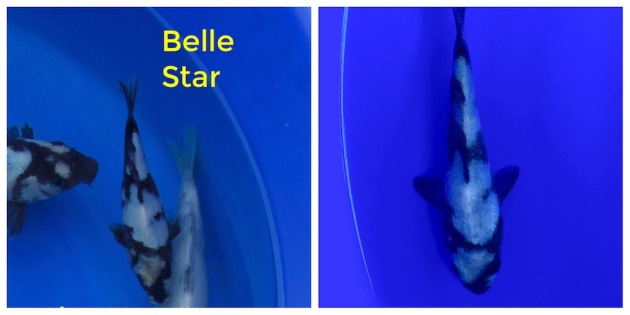 Belle Star lasted about two months in our pond before she got stuck in the skimmer and died.