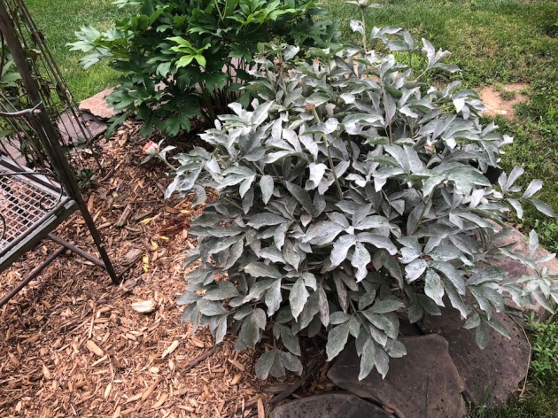 Some of my peonies will get powdery fungus on them. I would think being in the full sun would keep it down but this year I may need to spray with neem oil. Maybe I should try it on my magnolia as well.