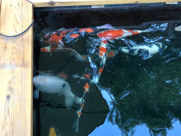 koi doing their thing...