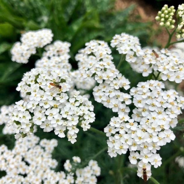 The hoverflies visiting my yarrow flowers look like miniature bees.