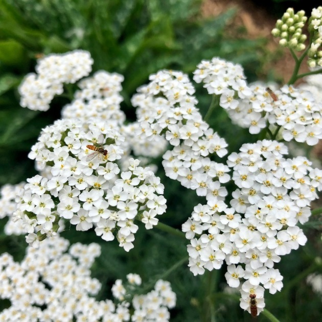 The hoverflies visiting my yarrow flowers look like miniature bees.